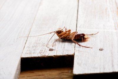 cockroach - infestation